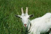 Продаю очень хорошую дойную козу!