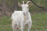 Продам двух дойных коз